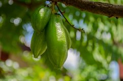 新鲜的Bilimbi, Bilimbing,黄瓜Averrhoa Bilimbi在树结果实 库存照片