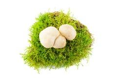 新鲜的Calcybe gambosa 季节性蘑菇 免版税库存图片