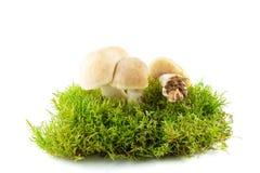新鲜的Calocybe gambosa 季节性蘑菇 图库摄影