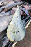 新鲜的Mahi-Mahi,共同的海豚鱼,抓住在fisherm的待售 库存照片