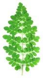 新鲜的moringa叶子 库存图片