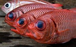 新鲜的Pinecone战士鱼 免版税库存照片