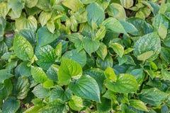 新鲜的Plu叶子在庭院里 库存照片