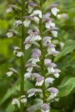 新鲜的Salvia sclarea 库存照片