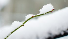 新鲜空气的白色蓬松积雪的植物在冬天 库存图片