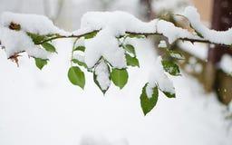 新鲜空气的白色蓬松积雪的植物在冬天 免版税库存图片