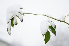 新鲜空气的白色蓬松积雪的植物在冬天 免版税库存照片