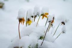 新鲜空气的白色蓬松积雪的植物在冬天 库存照片