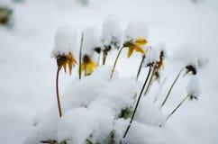 新鲜空气的白色蓬松积雪的植物在冬天 图库摄影