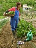 新鲜篮子唐莴苣充分的妇女 库存图片