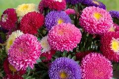 新鲜翠菊的花束 免版税图库摄影