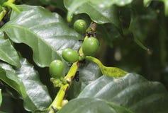 新鲜豆的咖啡 库存照片