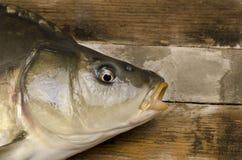 新鲜鲤鱼的鱼 免版税库存照片