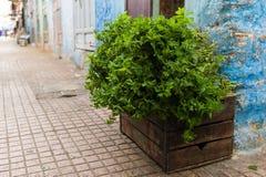 新鲜,甜薄菏灌木在一个木箱的 库存照片