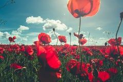 新鲜,红色鸦片特写镜头在一个绿色领域开花,在阳光下,美丽如画的场面 免版税库存照片