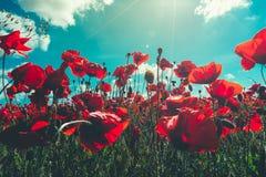 新鲜,红色鸦片特写镜头在一个绿色领域开花,在阳光下,美丽如画的场面 免版税图库摄影