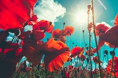新鲜,红色鸦片特写镜头在一个绿色领域开花,在阳光下,美丽如画的场面 图库摄影
