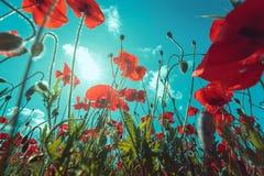 新鲜,红色鸦片特写镜头在一个绿色领域开花,在阳光下,美丽如画的场面 库存图片