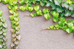 新鲜geen登山人生长在混凝土墙的常春藤植物 抽象背景本质 在灰色水泥的自然明亮的花卉框架 f 免版税库存图片