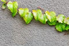 新鲜geen登山人生长在混凝土墙的常春藤植物 抽象背景本质 在灰色水泥的自然明亮的花卉框架 f 免版税库存照片