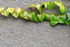 新鲜geen登山人生长在混凝土墙的常春藤植物 抽象背景本质 在灰色水泥的自然明亮的花卉框架 f 库存图片