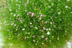新鲜gypso花卉生长,特写镜头 库存图片