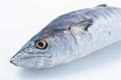 新鲭鱼白色 库存图片