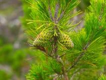 新水多的杉树 免版税库存照片