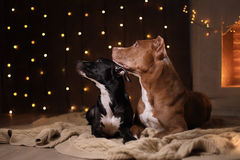 新年快乐,圣诞节,宠物在屋子里 美洲叭喇狗、假日和庆祝 免版税库存照片