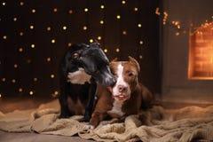 新年快乐,圣诞节,宠物在屋子里 美洲叭喇狗、假日和庆祝 免版税库存图片