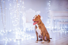 新年快乐,圣诞节,宠物在屋子里 美洲叭喇狗 免版税库存照片