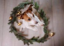 新年快乐,圣诞节,杰克罗素狗 假日和庆祝,宠物在屋子里 库存图片