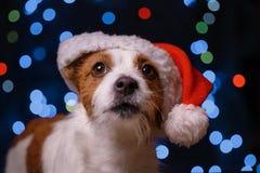 新年快乐,圣诞节,狗在圣诞老人帽子 免版税图库摄影