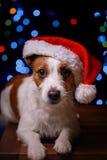 新年快乐,圣诞节,狗在圣诞老人帽子 图库摄影