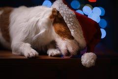 新年快乐,圣诞节,狗在圣诞老人帽子 免版税库存照片