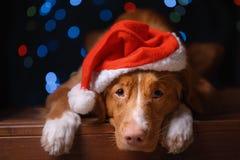 新年快乐,圣诞节,狗在圣诞老人帽子 免版税库存图片