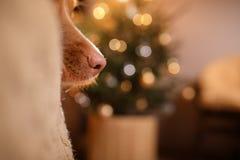 新年快乐,圣诞节,狗新斯科舍鸭子敲的猎犬、假日和庆祝 库存图片