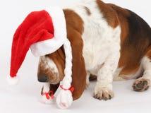 新年快乐,圣诞节贝塞猎狗开会,被隔绝 库存图片