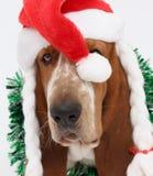 新年快乐,圣诞节贝塞猎狗开会,被隔绝 免版税库存照片