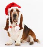 新年快乐,圣诞节贝塞猎狗开会,被隔绝 免版税库存图片