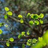 年轻新绿色叶子和蜘蛛` s网点燃了与太阳 免版税库存照片