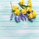 新黄色和蓝色春天在绿松石木backgro开花 库存照片