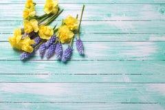 新黄色和蓝色春天在绿松石木backgro开花 免版税库存图片