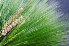 新绿色和金黄成熟麦子束 免版税库存图片