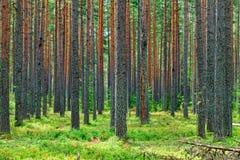 新绿色杉木森林背景 库存图片
