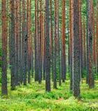 新绿色杉木森林背景 免版税库存图片