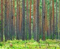 新绿色杉木森林背景 库存照片