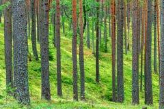新绿色杉木森林背景 免版税库存照片