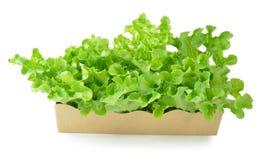 新绿色查出的散叶莴苣白色 库存图片