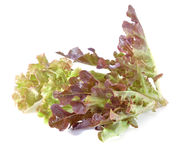 新绿色查出的散叶莴苣白色 图库摄影